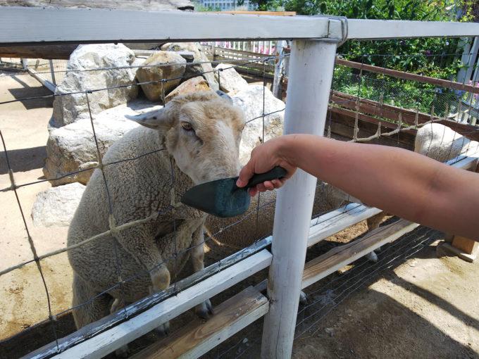 神戸どうぶつ王国の動物ふれあい体験「羊ふれあい」