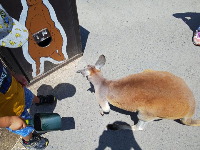 神戸どうぶつ王国の動物ふれあい体験「カンガルーふれあい」