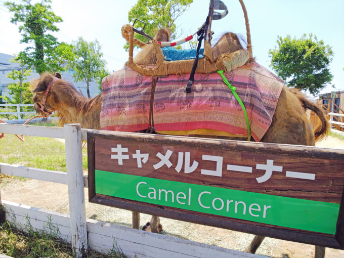 神戸どうぶつ王国のアウトサイドパークのキャメルコーナー
