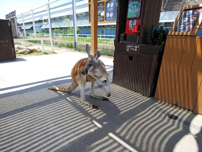 神戸どうぶつ王国のアウトサイドパークのカンガルーファーム